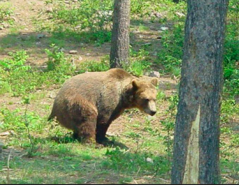 Bear shit in woods.png