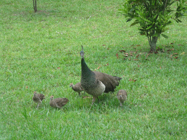 peahen and babies.jpg